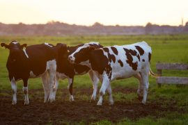 TRADE, NOT AID FOR WI DAIRY FARMERS