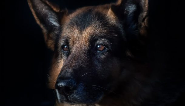 K9 OFFICER PYRO CONTINUES TO RECOVER