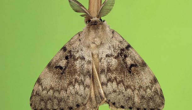 GYPSY MOTH TREATMENT TO BEGIN