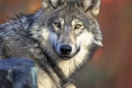 Officials Howl About Next WI Wolf Hunt