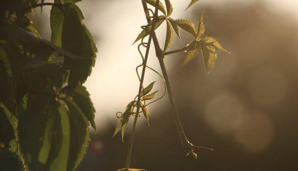 HEMP PLANTS ROOTS IN WI