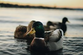 NO FOWL FOR WI DUCK SEASON YET