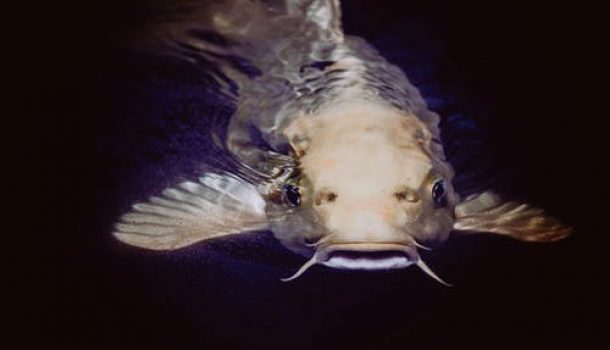 CATFISH DAYS RELEASED FOR THE YEAR