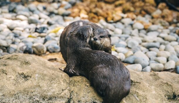 Otters Arrive at Henry Vilas Zoo