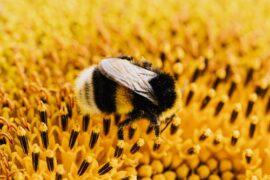 Activists Buzzin' On Behalf of Bumblebees